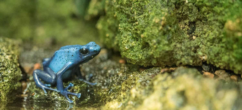 Blauer Pfeilgiftfrosch - Bildrauschen mit Lightroom entfernen