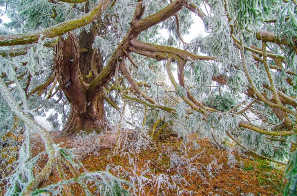 Mammutbaum im Winter