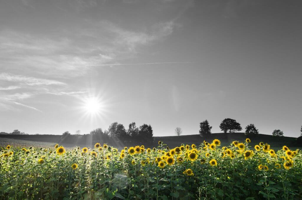Sonnenblumenfeld im Abendlicht Geburtstagskarten