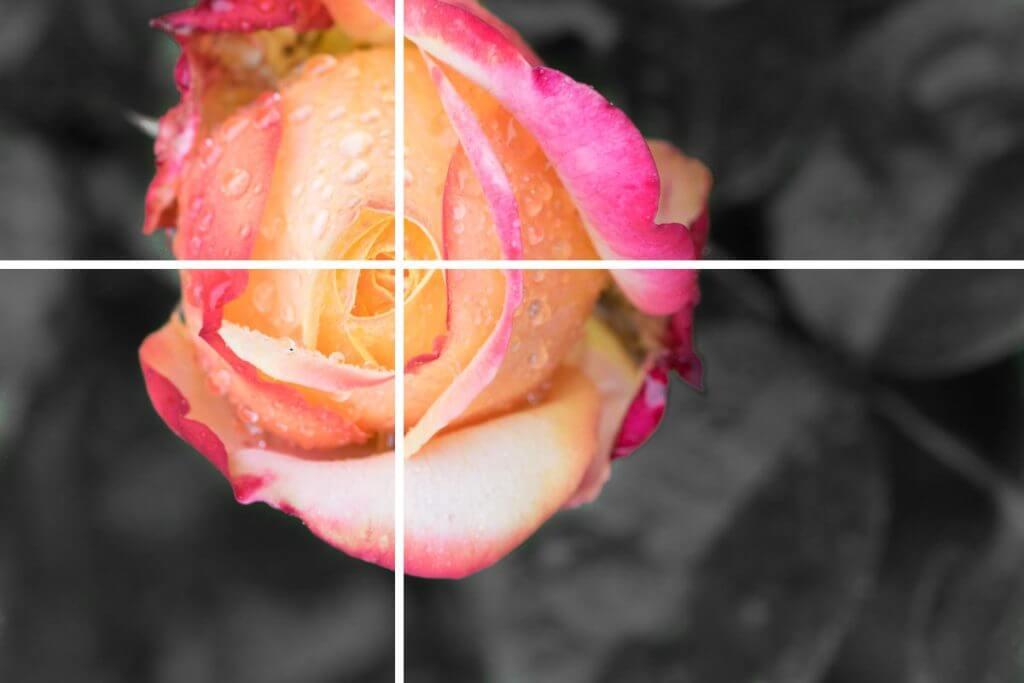 Rosenblüte auf den Schnittpunkt zweier Linien gesetzt