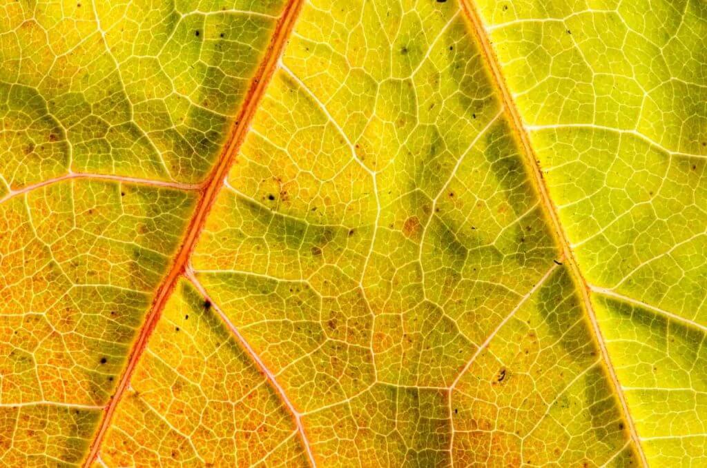 Herbstblattadern ganz nah