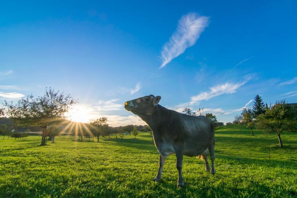 Kuh auf der Weide, Sonnenuntergang fotografieren