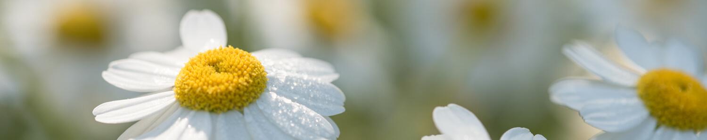 Blüten im Morgentau - Naheinstellgrenze Objektiv