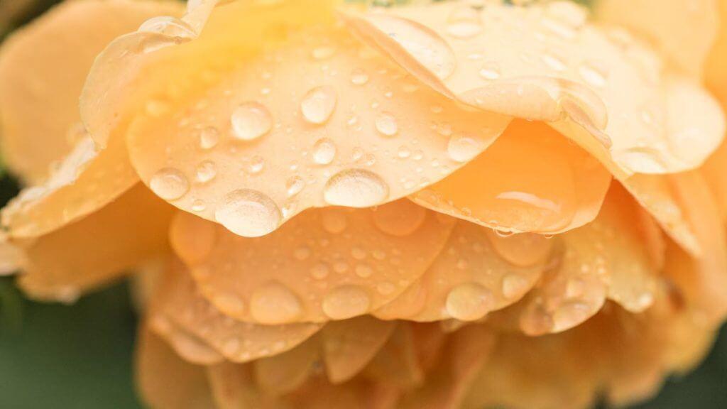 Fotografieren bei schlechtem Wetter - Rosenblüte
