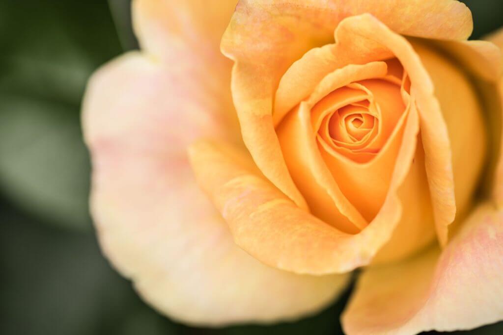 Rosenblüte Rosenwoche Bischofszell - Weg von der Mitte
