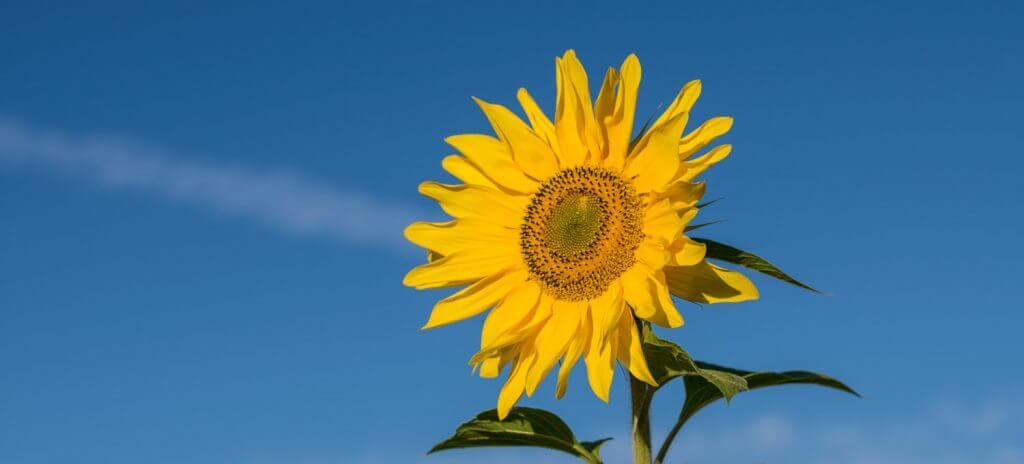 Sonnenblume mit Spiegelreflexkamera fotografiert