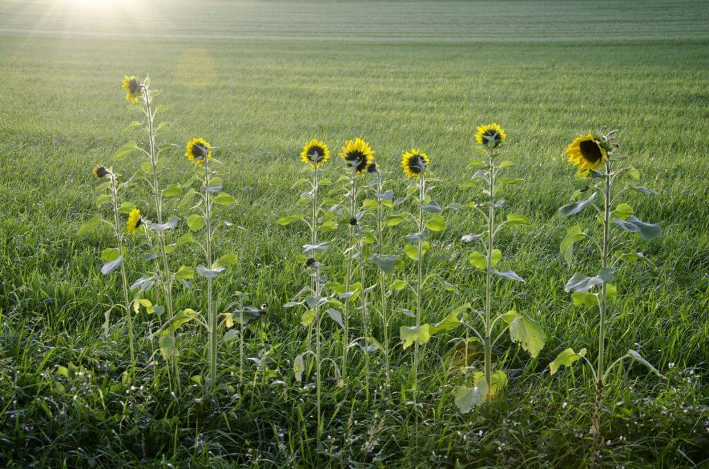 Sonnenblumenfeld in der Abendsonne