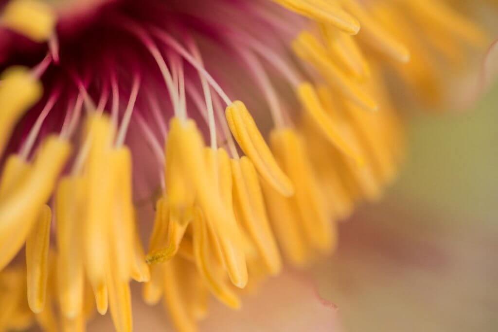 Staubbeutel einer Blüte ganz nah - Makrofotografie