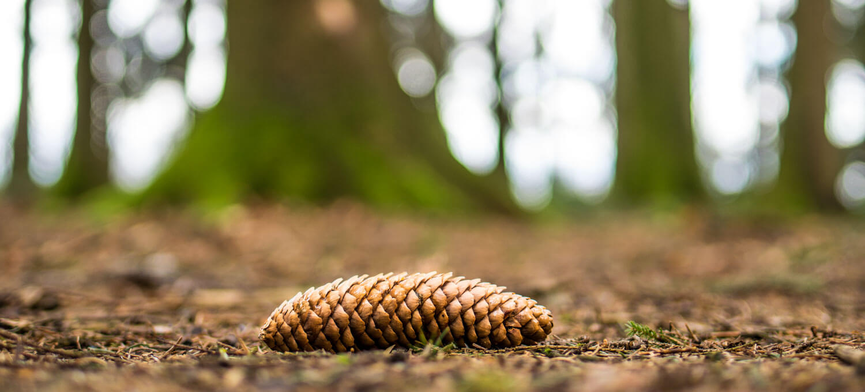Tannzapfen auf dem Waldboden - fotografieren im Wald