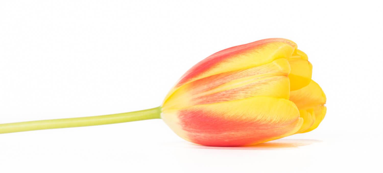 Tulpen Stilleben