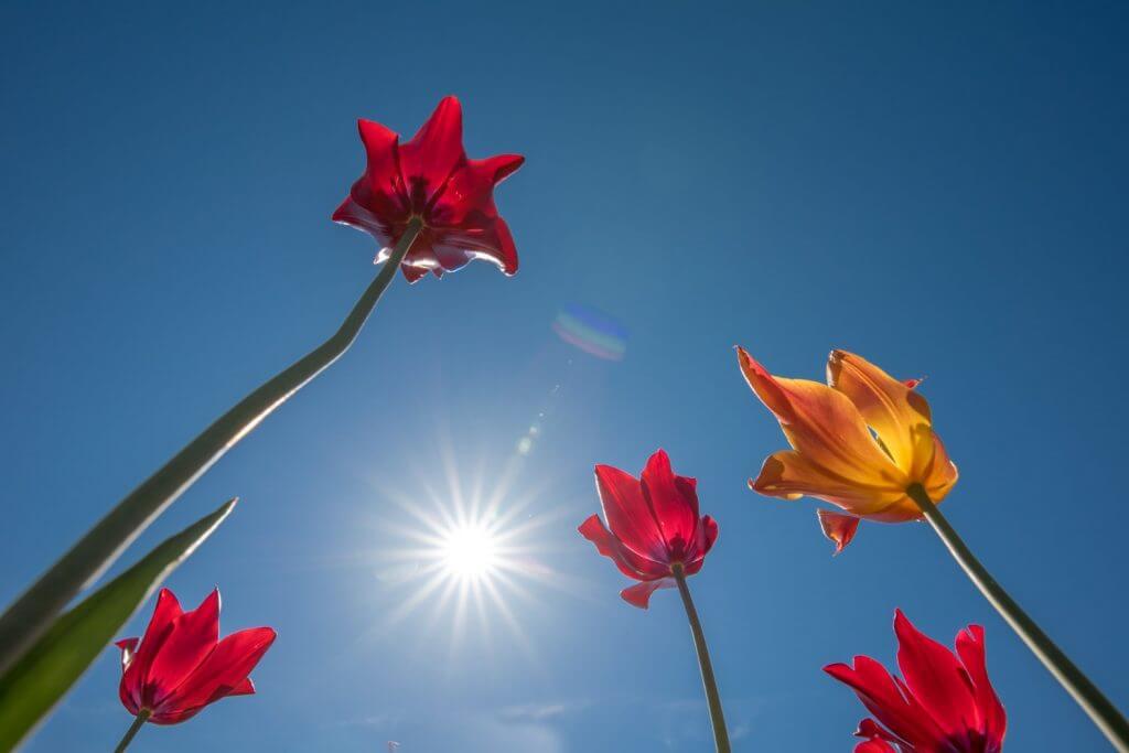 Tulpen aus der Froschperspektive mit Blendenstern