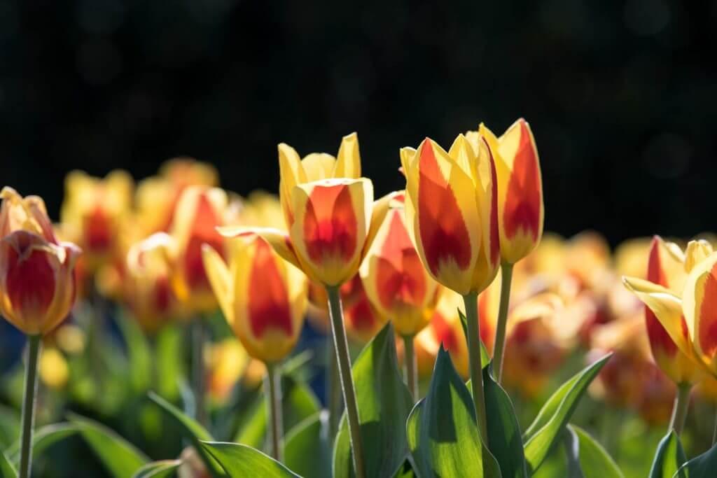 Tulpen im Gegenlicht- mit Streulichtblende