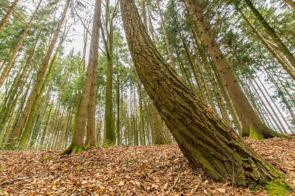 Wilder Baumwuchs im Stadtwald