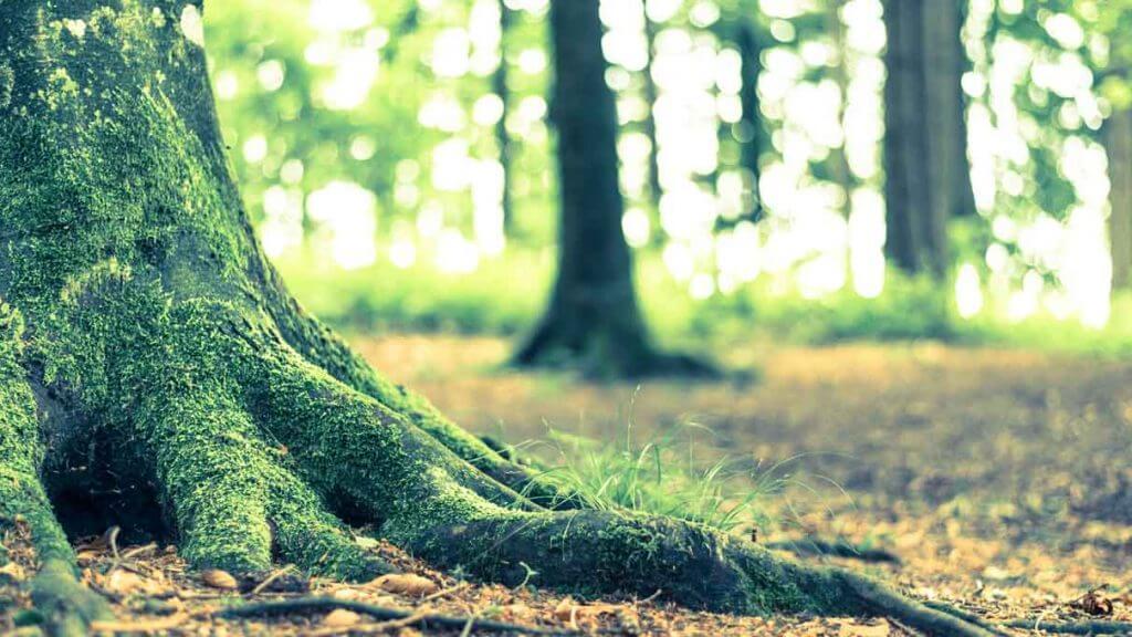 Wald Stilleben mit vermoosten Wurzeln