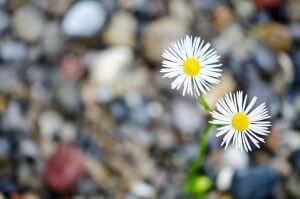 Blumen im Bachbett mit kleiner Schärfentiefe