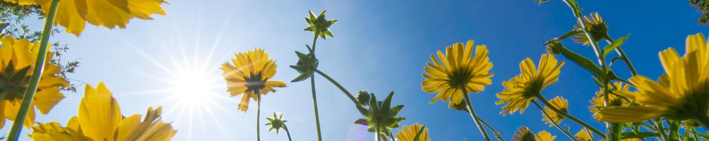 gelbe Blüten im Gegenlicht - chromatische Aberrationen