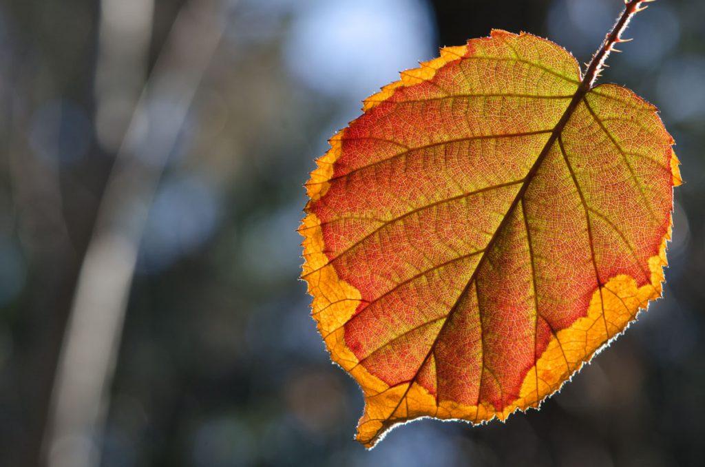 Herbstblatt im Gegenlicht - Blätter im Gegenlicht fotografieren