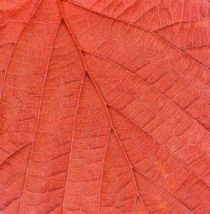 Herbstblatt: Scanografie mit der Diapositiv-Durchlichteinheit