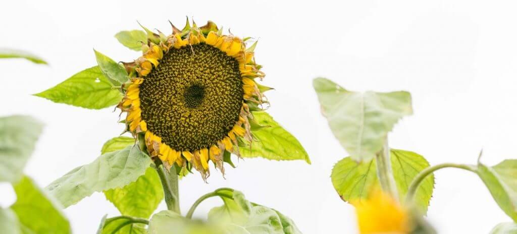 Sonnenblume - Back button focus-Methode