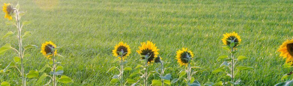 Sonnenblumen im Abendlicht - Farbtiefe