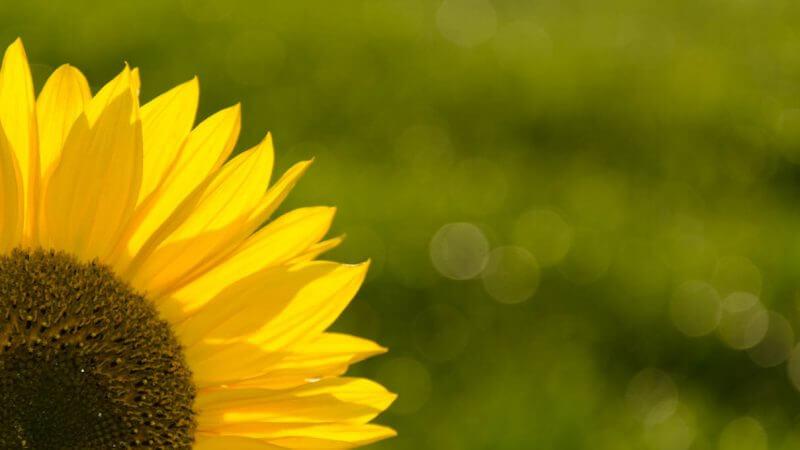 Aufhellblitzen bei einer Sonnenblume im Gegenlicht