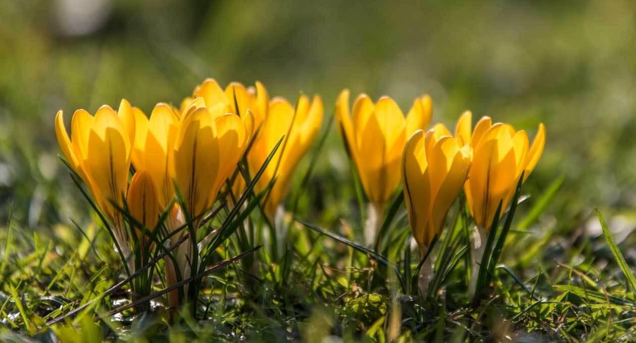 Frühlingsboten im Gegenlicht