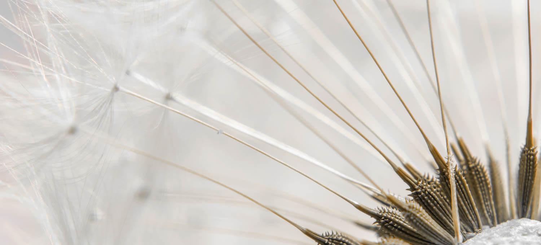 Löwenzahnblüte ganz nah - Makrofotografie