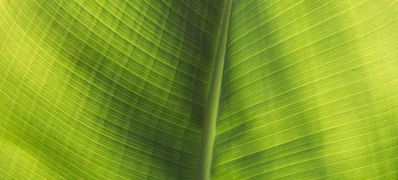 Palmenblatt im Gegenlicht