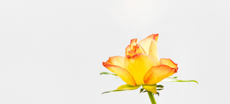 Rosenblüte - Fotoprojekt zuhause realisieren