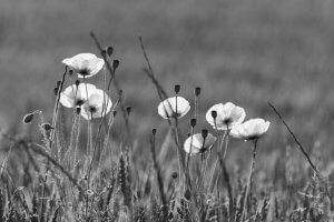 Schwarzweiss sehen lernen - Mohnblüten im Gegenlicht
