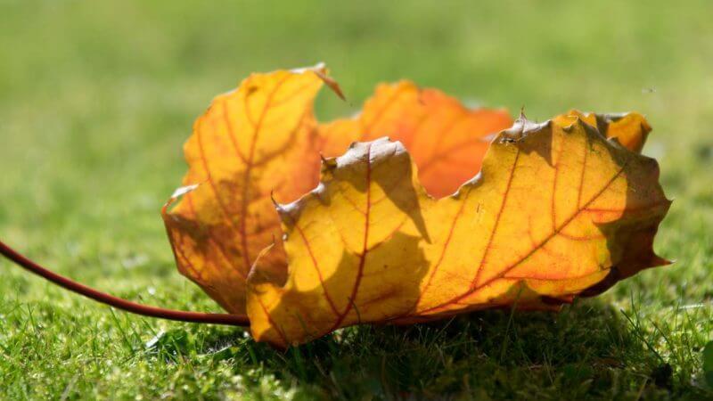 Herbstblatt im Gegenlicht - Fotografieren im Herbst