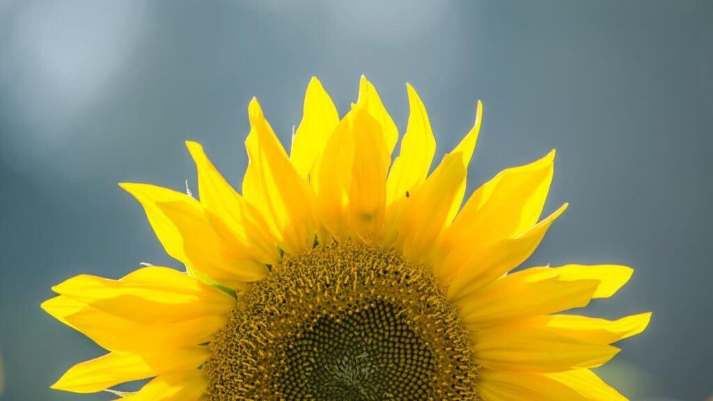 angeschnittene Sonnenblume - Symmetrie gestalten