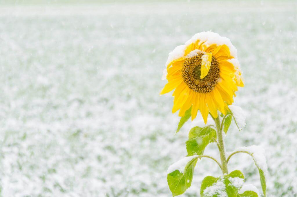 Sonnenblume im Schneetreiben