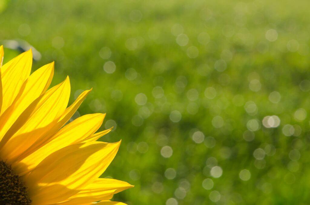 Sonnenblume im Abendlicht - Bokeh-Effekt