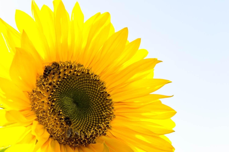 Sonnenblumen fotografieren - das perfekte Motiv im Spätsommer