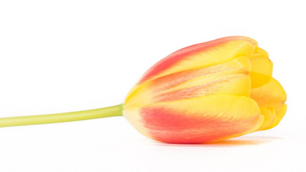 Tulpe in Weiss