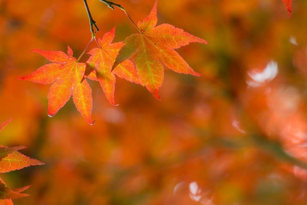 Ahornblätter im Farbenrausch - Fotografieren im Herbst