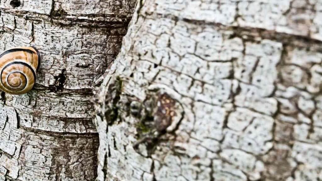 Schnecke an einer Birke