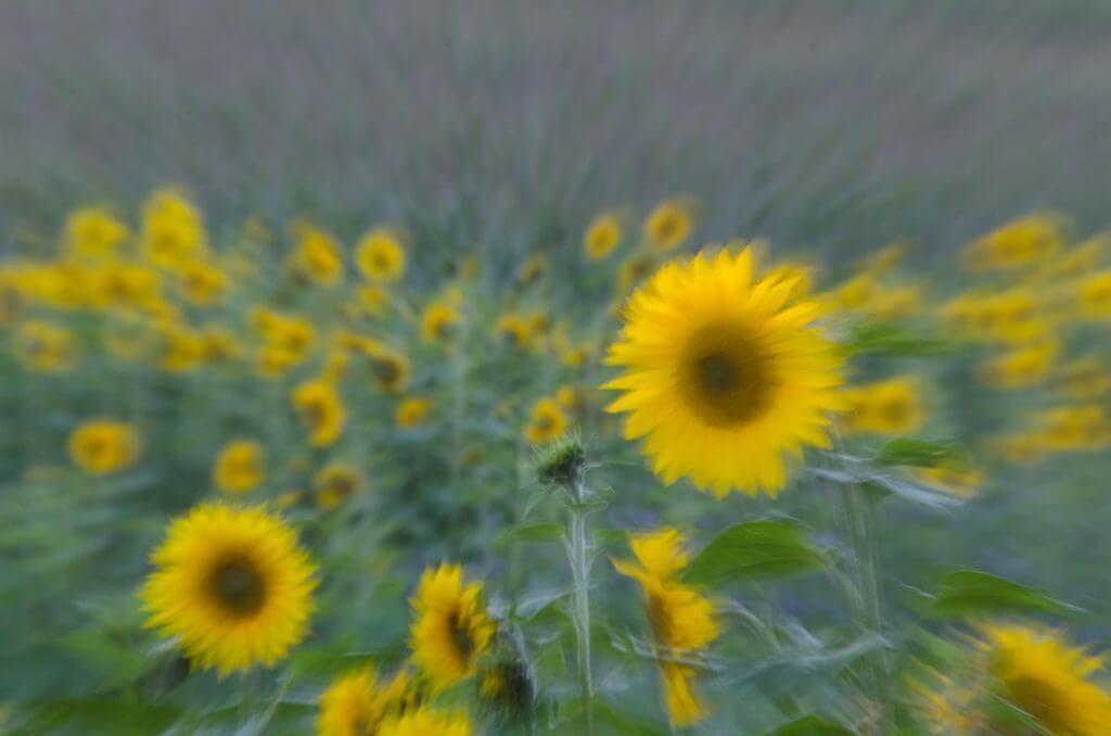 effektvoll Zoomen, Sonnenblumenfeld