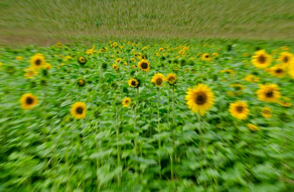 Effektvoll Zoomen - Sonnenblumenfeld