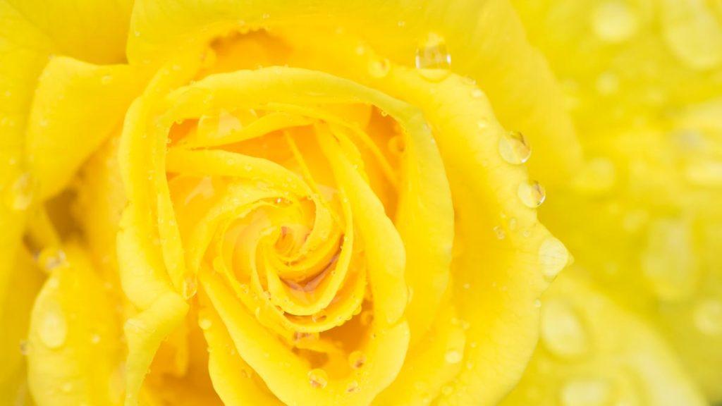 gelbe Rosenblüte an der Rosenwoche in Bischofszell