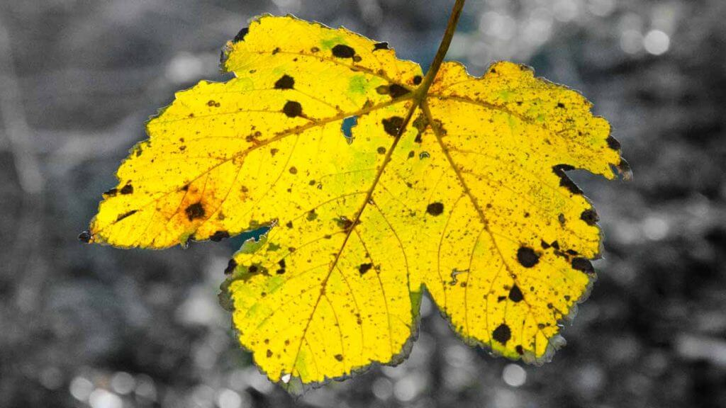 Herbstblatt - selektives Schwarzweissbild