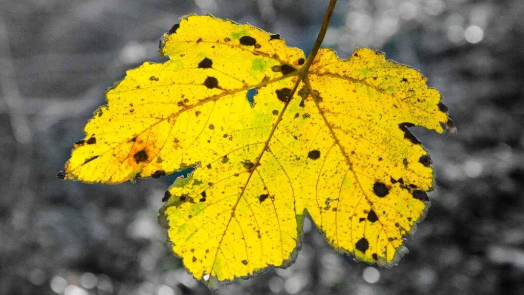 Motiv isoliert - Herbstblatt
