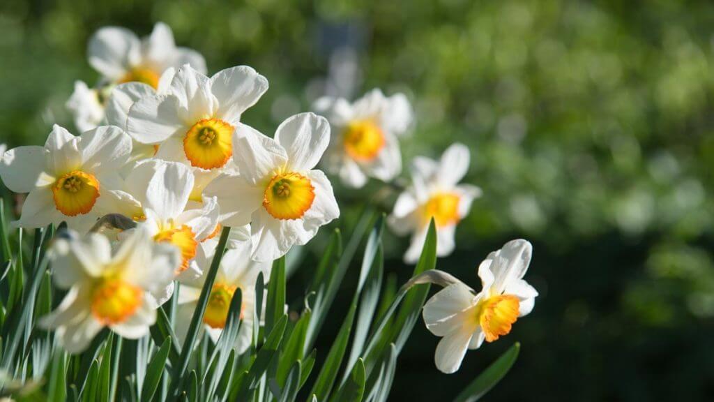 Narzissen in der Frühlingssonne - Gestaltungstipps Frühlingsbilder