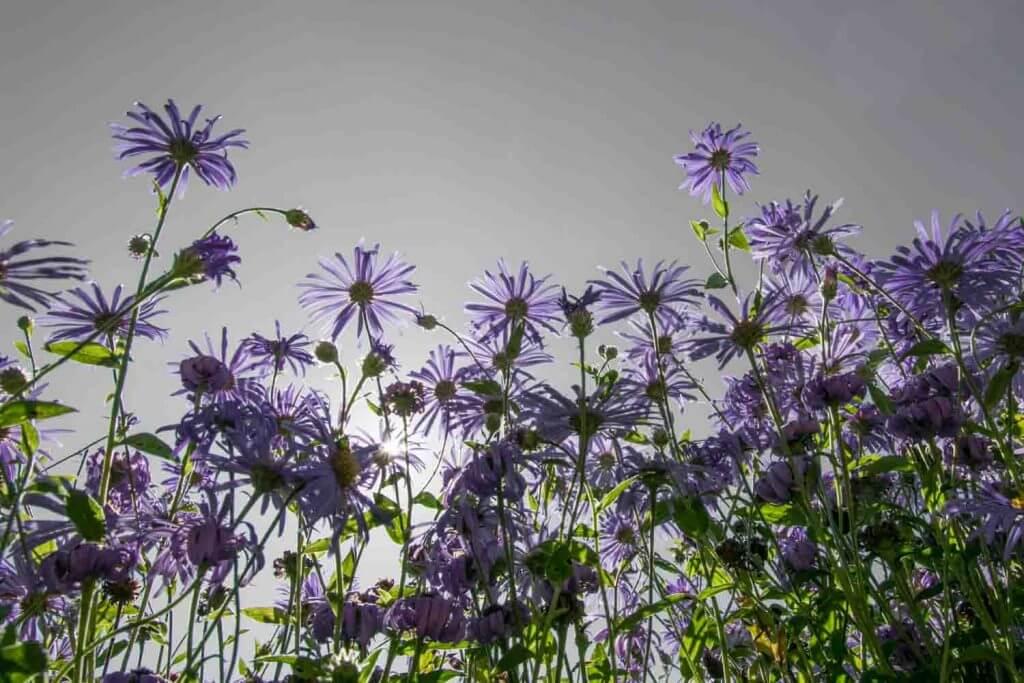 Violette Blüten im Gegenlicht - selektives Schwarzweissbild