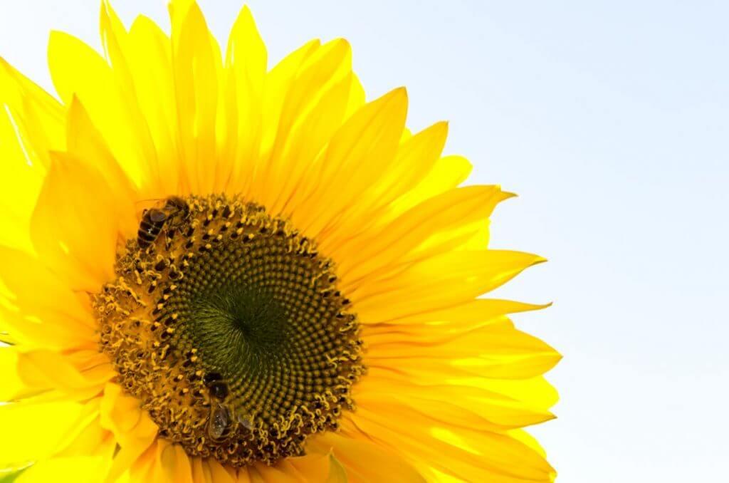 Sonnenblume im Gegenlicht, seitlich angeschnitten