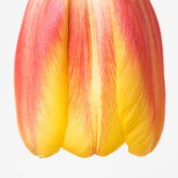 Tulpen Stilleben - Sigma Makro 105mm f/2.8