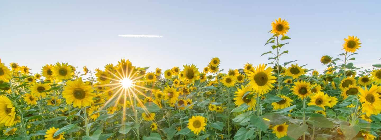 Pflanzenwachstum: Darum gucken Sonnenblumen abends nur nach Osten ...