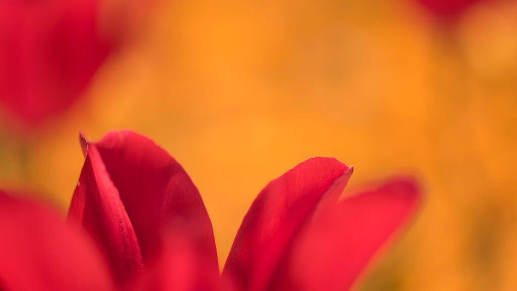 Tulpen - minimale Schärfeebene