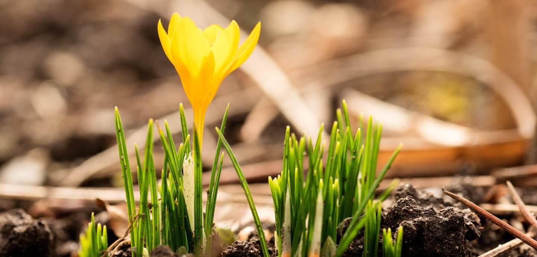 Frühlingsboten Krokus